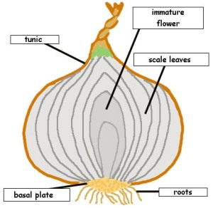 Parts of the onion